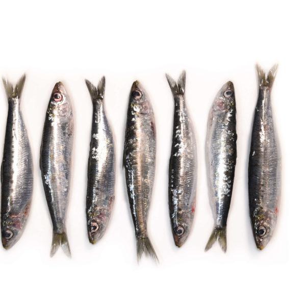 sardina-8