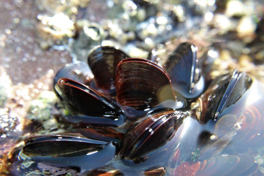 mussel-4867351_1920